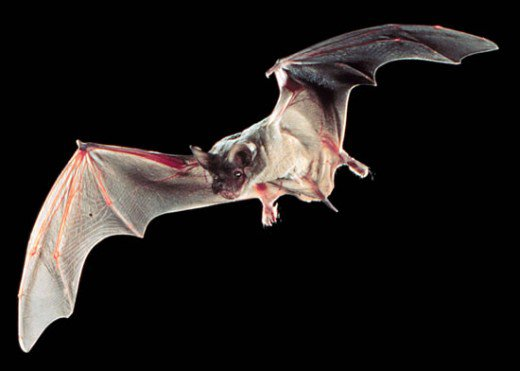 flying mexican free tailed bat