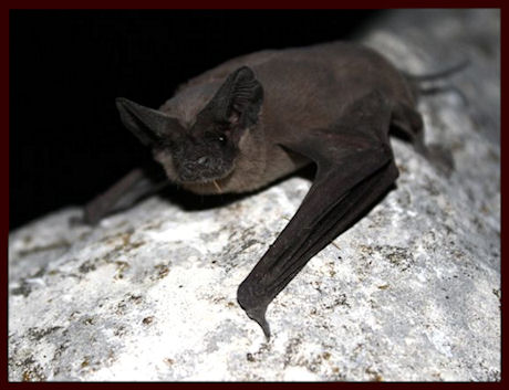 Mexican Free Tailed Bat by U.S. Fish and Wildlife Service Headquarters CC BY-2.0 via Wikimedia Commons